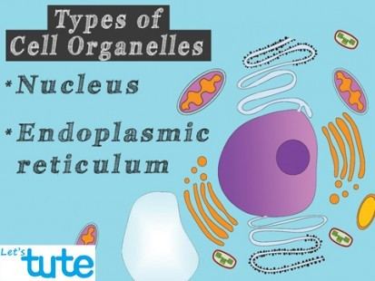 Class 9 Biology - Cell Organelles And Their Functions - Nucleus And Endoplasmic Reticulum Video by Let's tute
